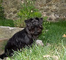 Affenpinscher Puppy by Sue Robinson