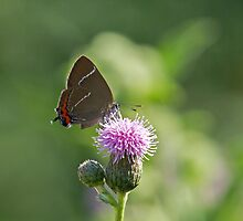 White-letter Hairstreak Butterfly by Sue Robinson