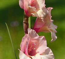 Pale Pink Gladiolas by PineSinger