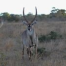 Waterbuck male and his wives by CraigSev