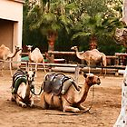 Camels at park by Yannis-Tsif