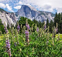Wildflowers in Cook's Meadow, Yosemite Valley, California, USA by TonyCrehan