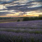Lavender Sunset by Mark Thompson