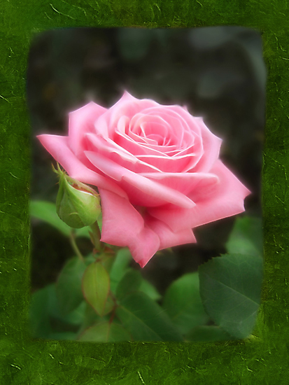 Pink Roses in Anzures 3 Blank P1F0 by Christopher Johnson