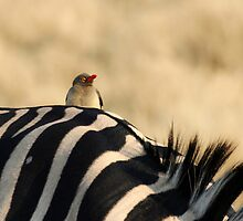 Zebra and Oxpecker- Moremi GR, Botswana by Mike Valigore