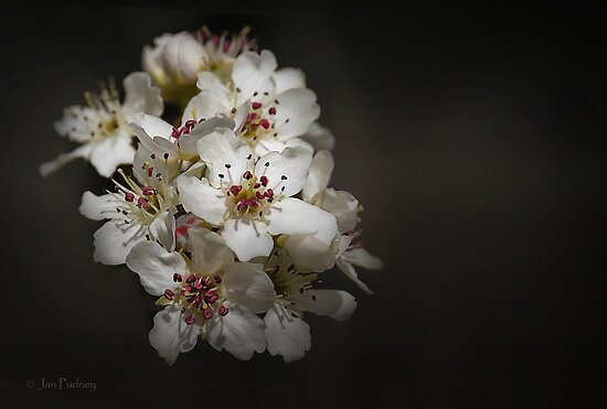 Blossom by Jan Pudney
