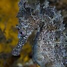 White's Seahorse by George Borovskis