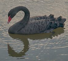 Black Swan by Glen Allen