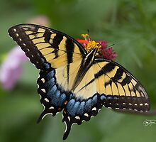 Eastern Tiger Swallowtail Butterfly by sturgils