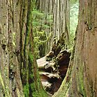 Redwood Trees Art Prints Big California Redwoods by BasleeArtPrints