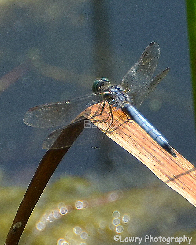 Dragon Fly by BarbL