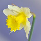Lemon Daffodil by Alison Hill
