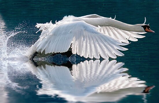 Ride a white swan by Lyn Evans