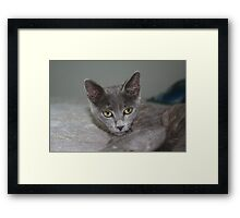 Beautiful Portrait of A Grey Russian Cross Tabby Cat Framed Print