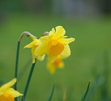 Spring Daffodil by Christopher Martin