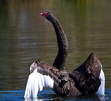 Black Swan Elegant by byronbackyard