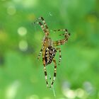 Spider on Web by Martha Medford
