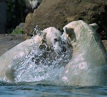 Polar bears playing in the water by DutchLumix