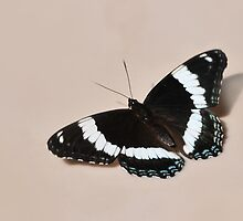 White Admiral - Butterfly by Lynda   McDonald
