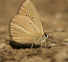 Ripart's Anomalous Blue butterfly on mountain track, Bulgaria by Michael Field