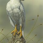 """Grey Goshawk"" (white morph) by Christopher Pope"