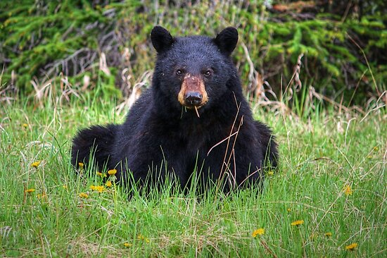 Bear Stare by JamesA1