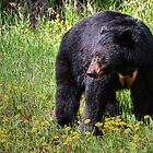 Black Bear - The Kootenay's by JamesA1
