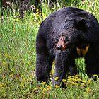 Black Bear - The Kootenay's by JamesA1