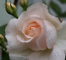 Pink Rose with Rain drops by walstraasart
