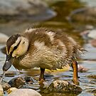 Mallard Duckling by Michael Cummings