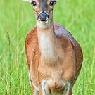 Button Buck White Tail Deer by Bonnie T.  Barry