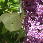 Brimstone butterfly by chelblack