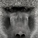 Baboons in the Wild by Raphael Lopez