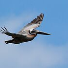 Soaring Pelican by Kenneth Keifer