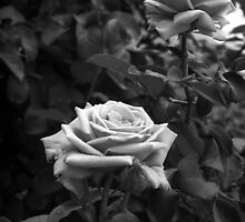Pink Roses in Anzures 5  B&W by Christopher Johnson