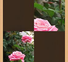 Pink Roses in Anzures 5  Blank Q3F0 by Christopher Johnson