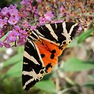Jersey Tiger Moth by John Hooton