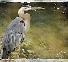 Great Blue Heron by vigor