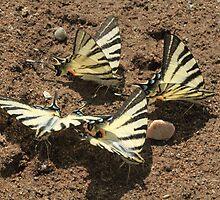 Scarce Swallowtail butterflies mud-puddling, Bulgaria by Michael Field