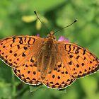 Dark Green Fritillary butterfly, Rila Mountains, Bulgaria by Michael Field