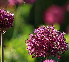 Light Beam Bokeh - Alium Flowers by Mark Haynes Photography