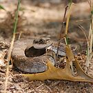 Eastern Hognose Snake by BiggerPicture