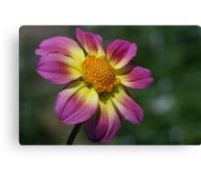 Rosy Outlook for a Dahlia Canvas Print
