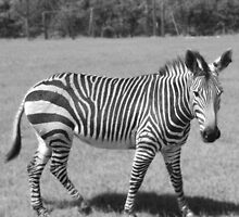 Zebra by Aaron McDermott