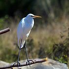 The Great Egret by Peter Doré