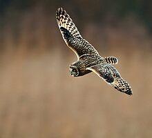 Short Eared Owl in flight. by PaulScoullar