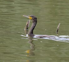 Great Cormorant  by Peter Wiggerman