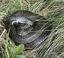 Let Sleeping Snakes Lie, Werrong Track, Australia 2012 by muz2142