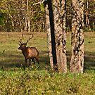 Bull Elk in Ponca by Lisa G. Putman