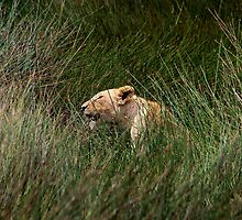 Hide and Seek in the reeds  - lake  Nadutu southern Serengeti  - Tanzania by john  Lenagan